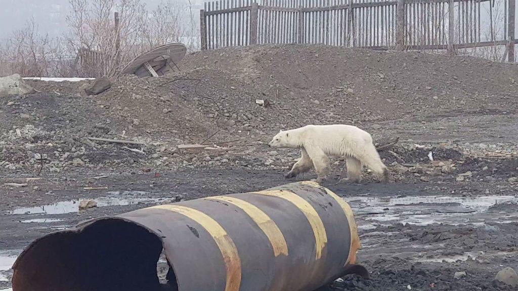 éhes jegesmedve oroszország