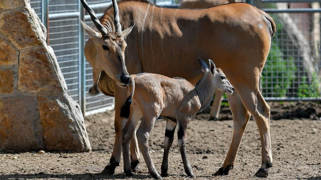 debreceni állatkert jávorantilop
