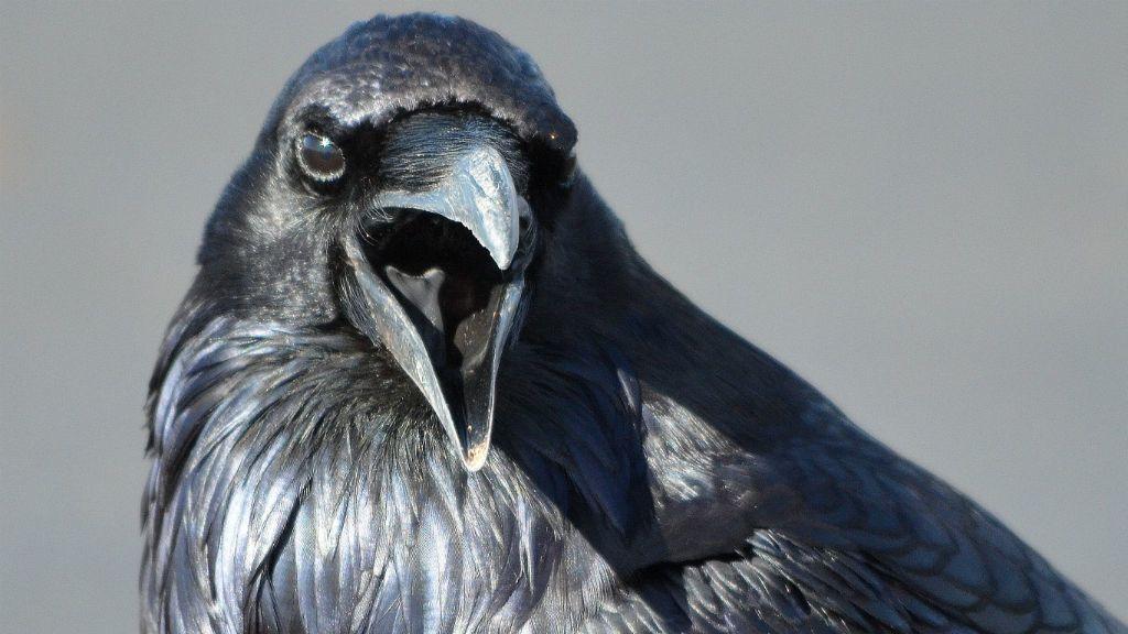varjú madár
