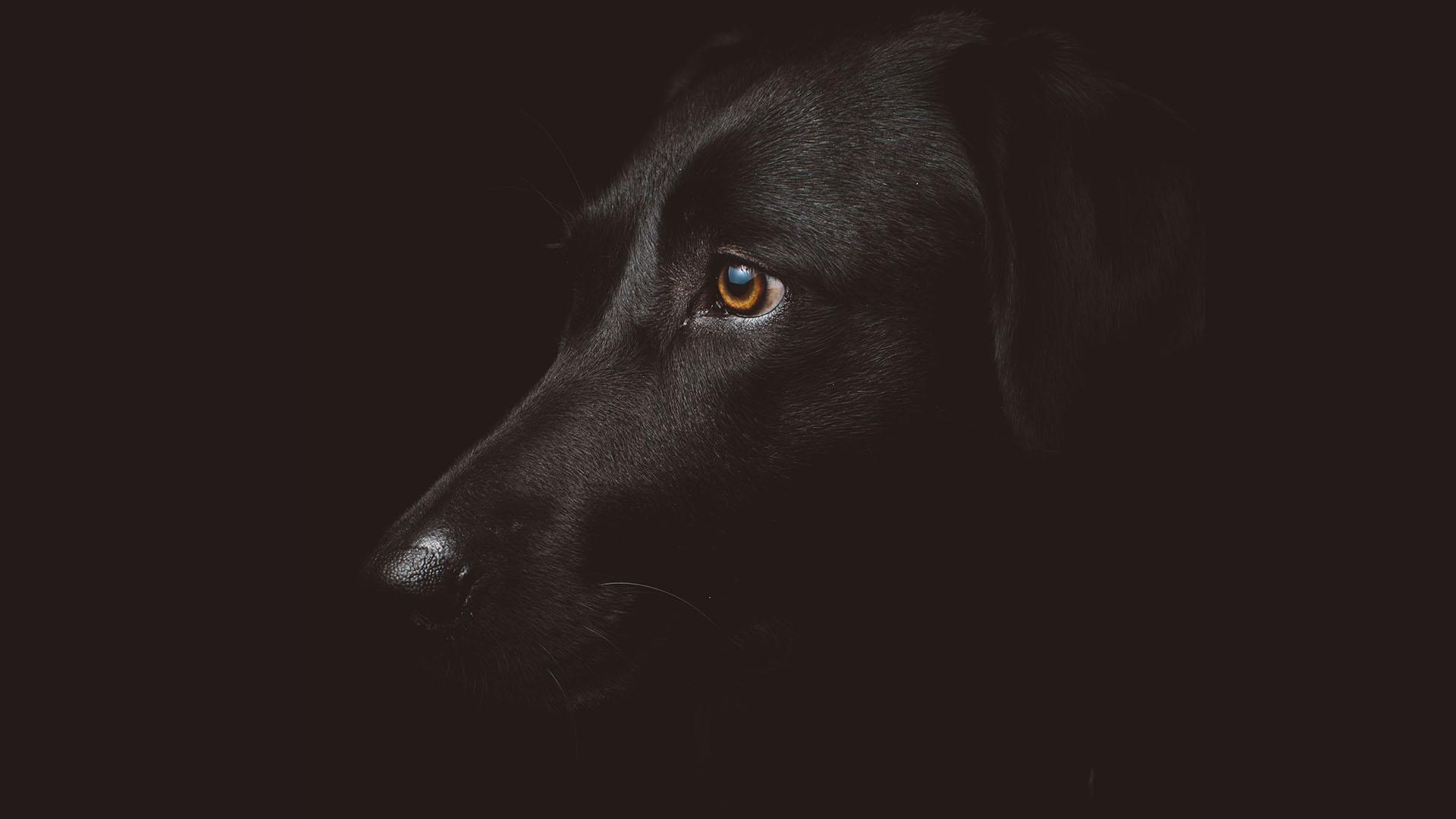 kutya, labrador, szomorú