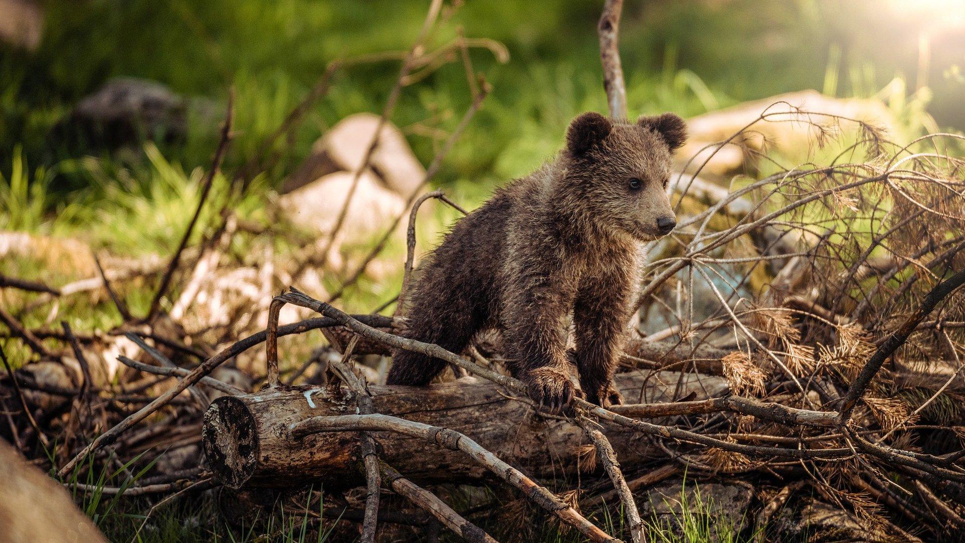 Medvék nyomait lehet keresni (illusztráció: Pixabay)