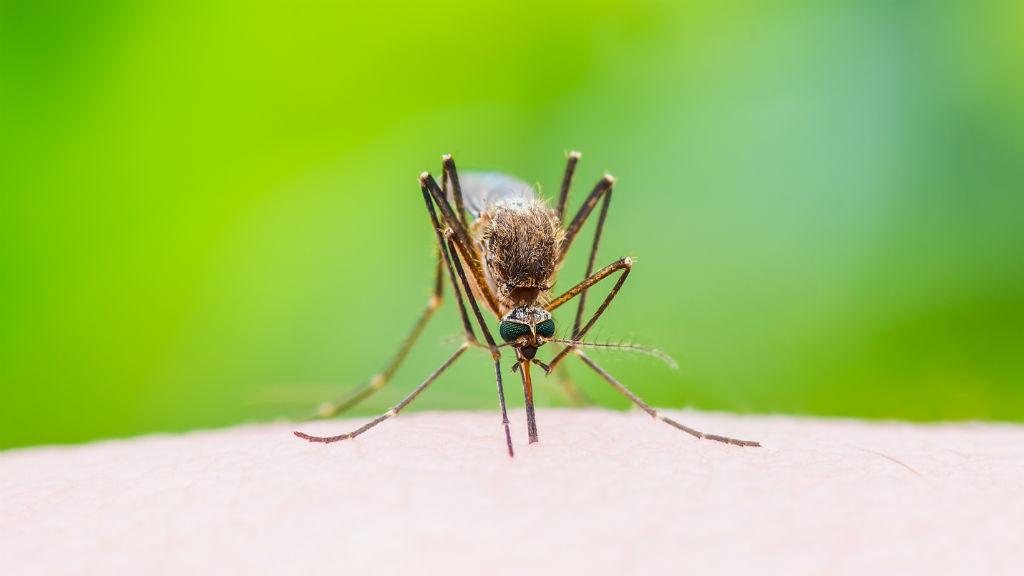 szúnyog szúnyogcsípés