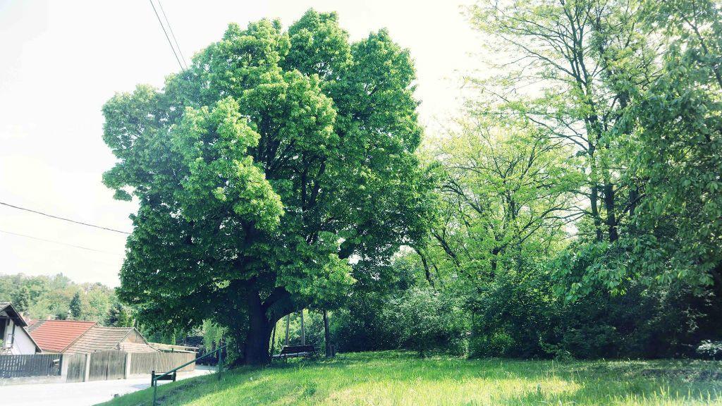 év fája hárskapocs