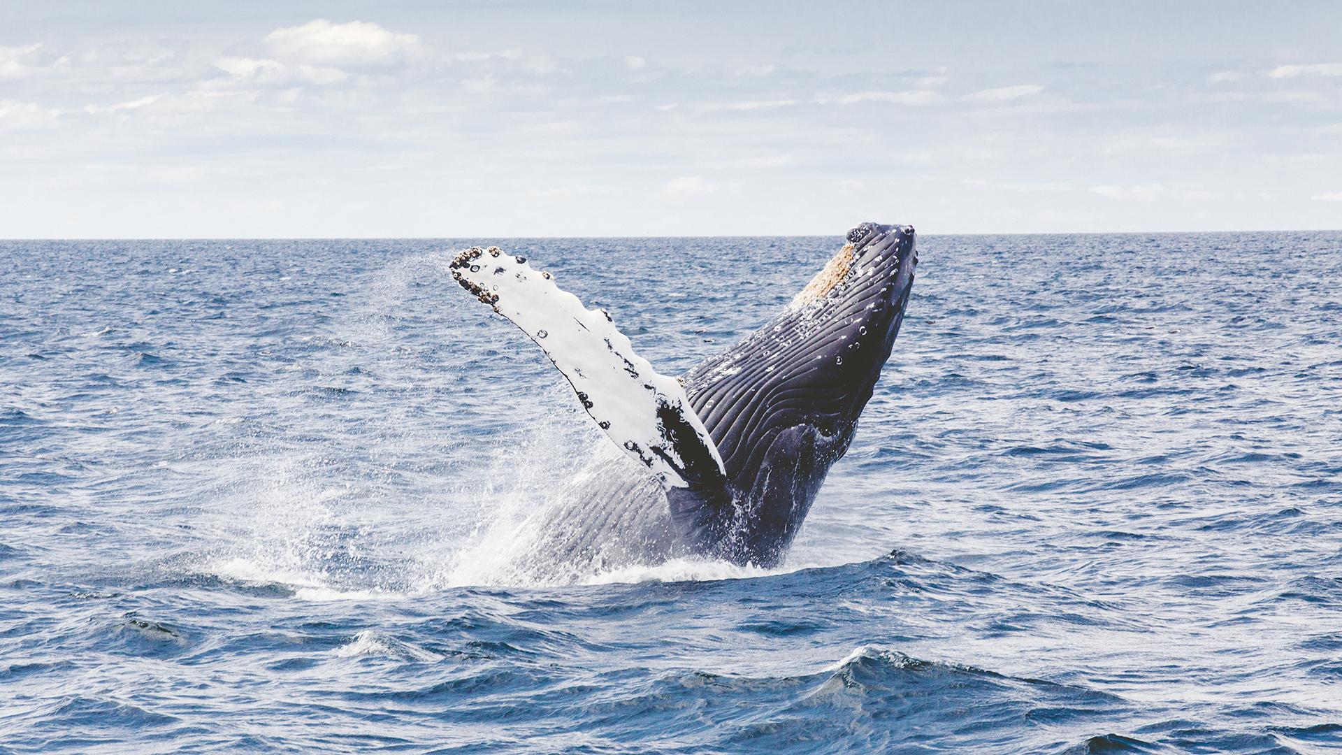 bálna, bálnavadászat, tenger