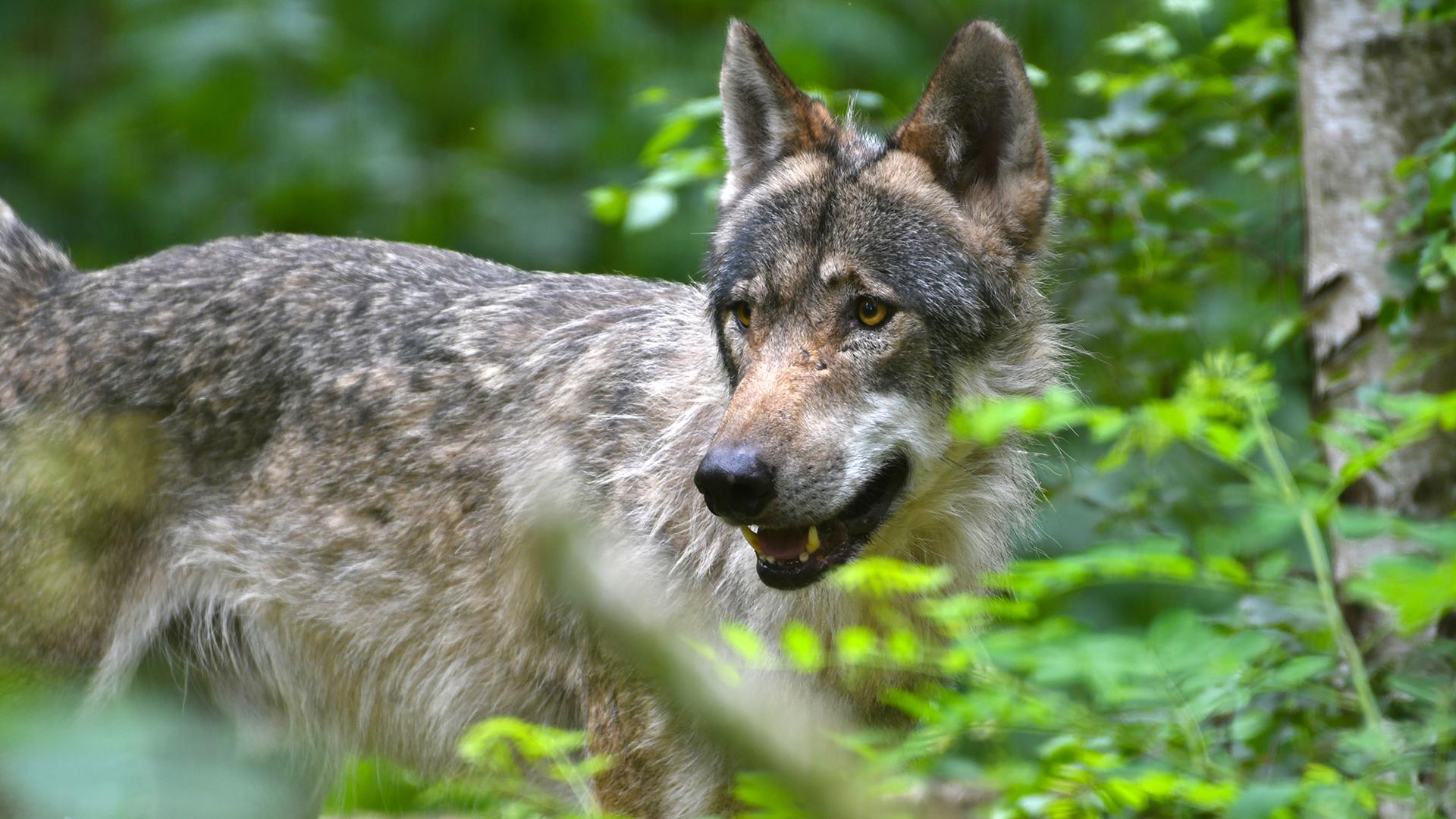 farkas, ragadozó