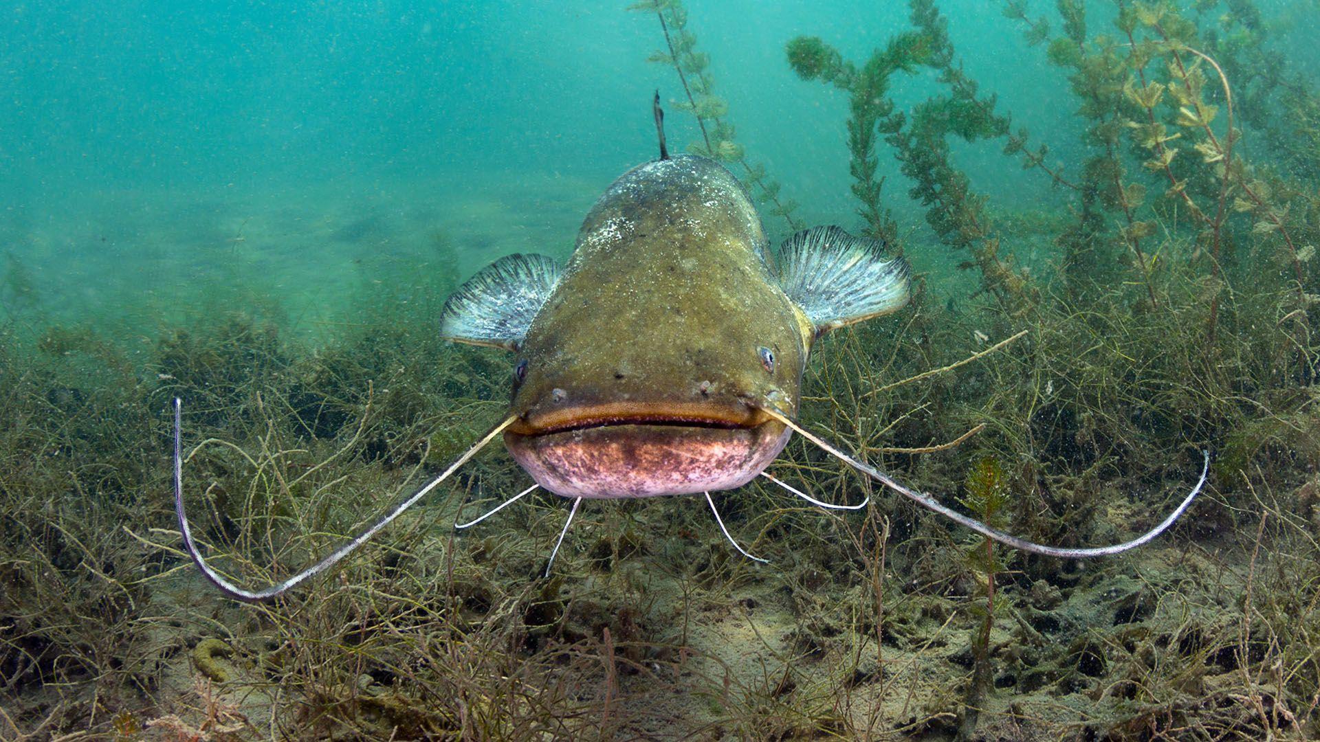 hal, harcsa