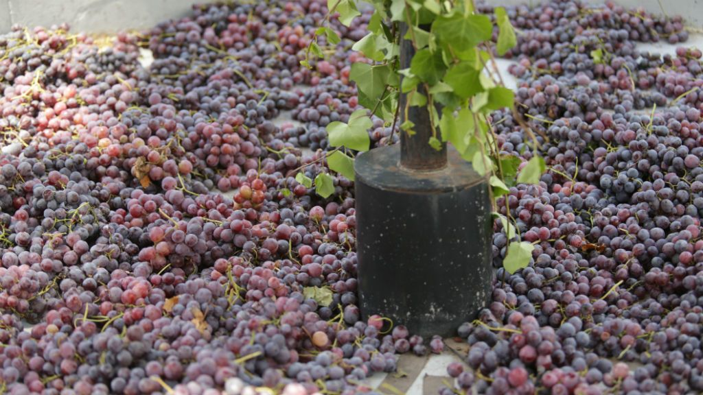 szőlő bor borász