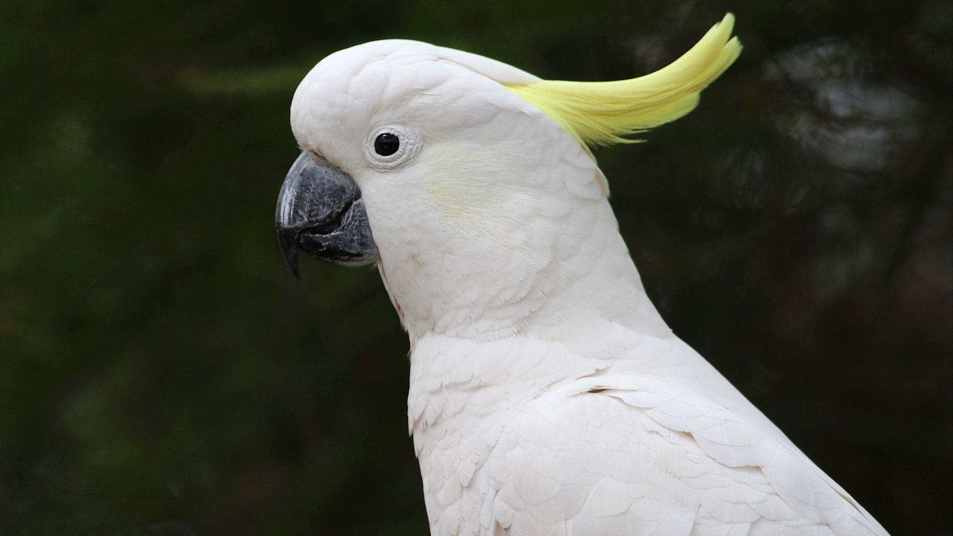 madár, kakadu
