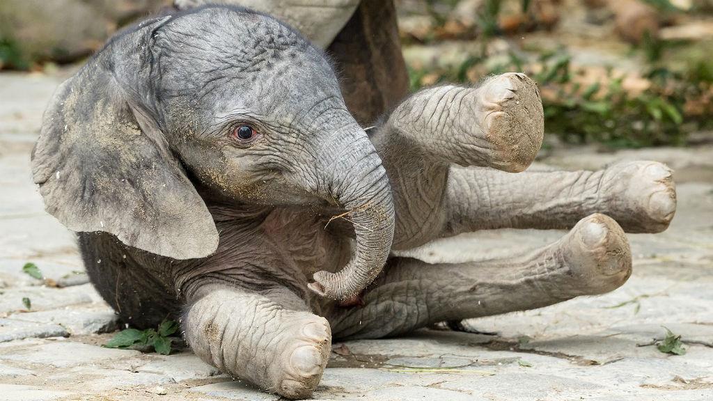 bécsi állatkert kiselefánt