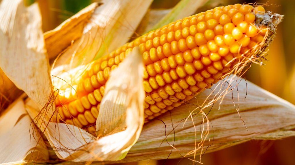 Kukoricacső (fotó: GARAO / Phanie)