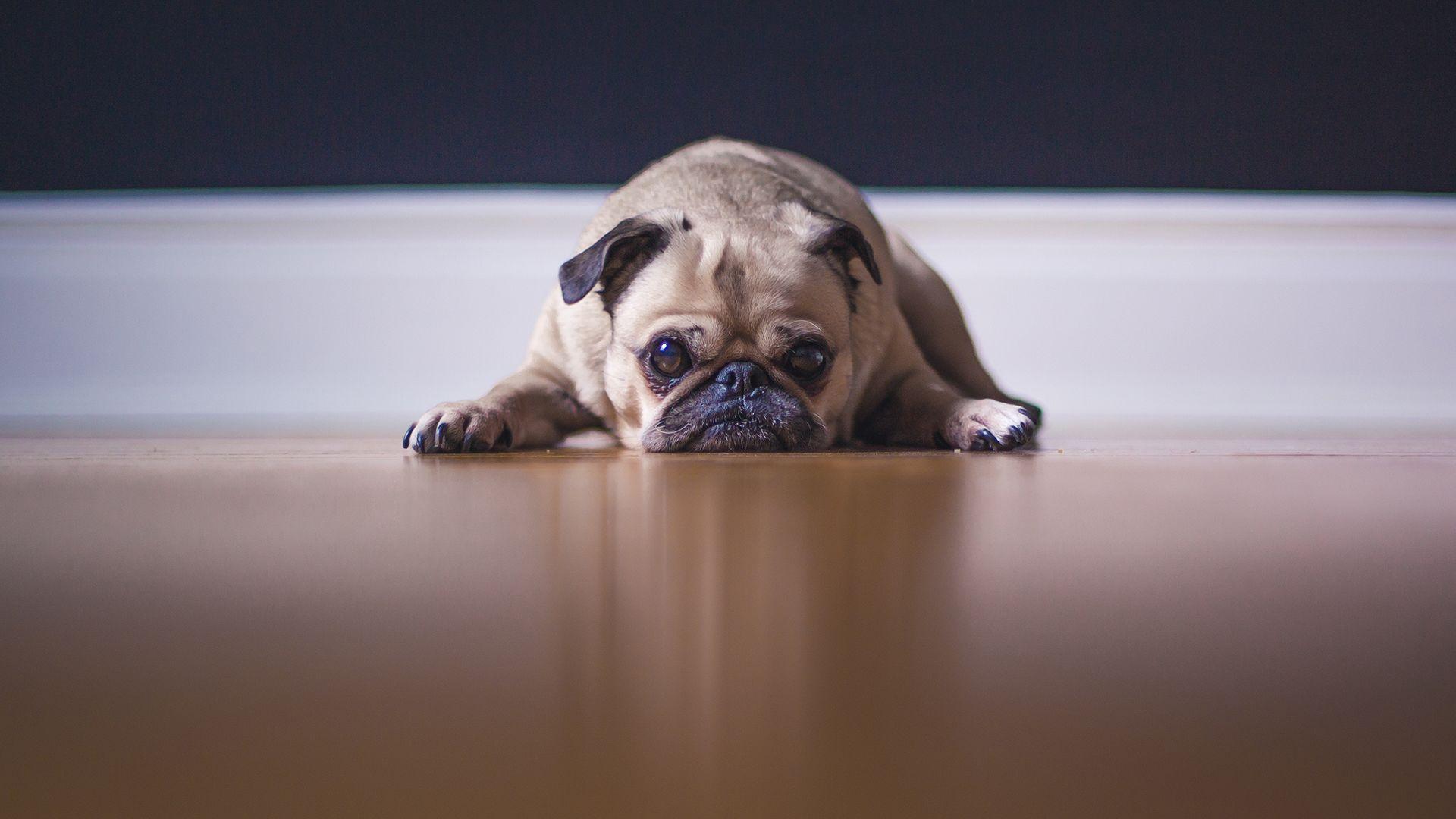 kutya, bulldog, szomorú