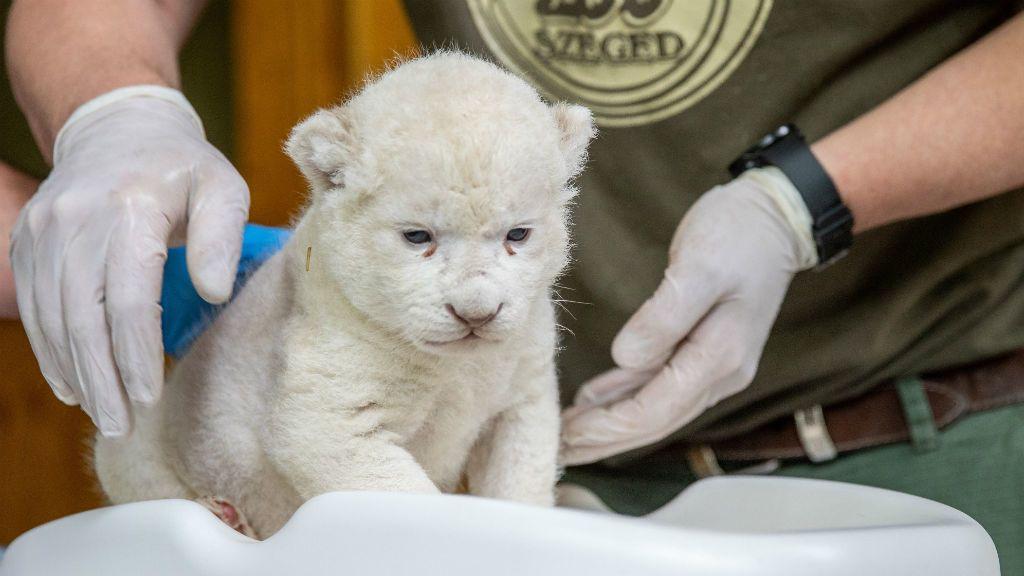 fehér oroszlánkölyök Szegedi Vadaspark
