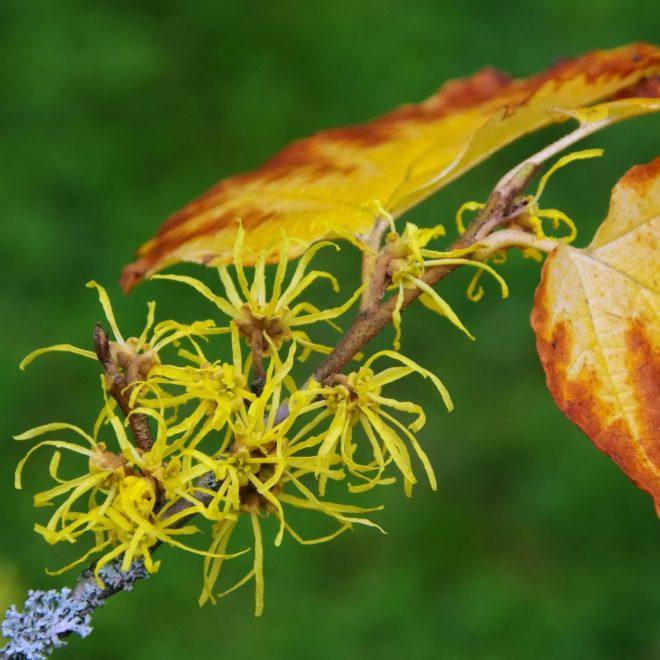 Hamamelis virginia (csodamogyoró) - Fotó: Profimedia, Alamy