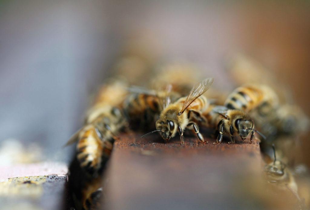 házi méh