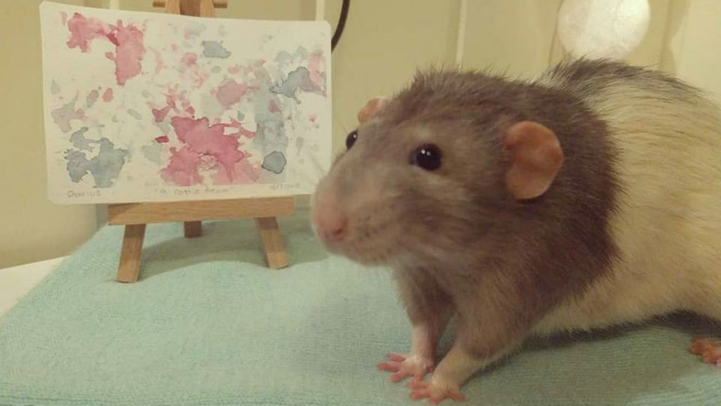 festő patkány