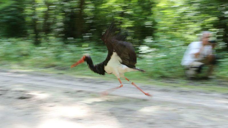 zoltán jeladós fekete gólya gemenc