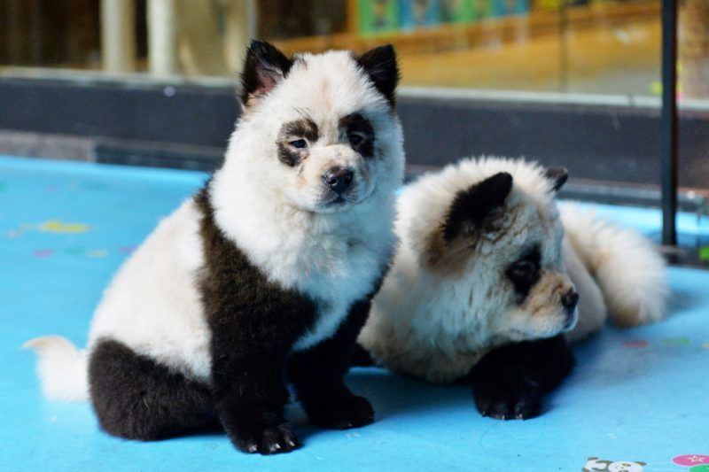 panda kutya kávézó kína