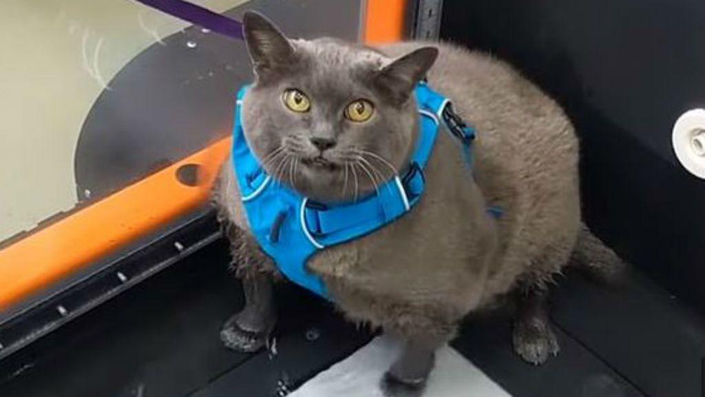 cinderblock macska diéta fogyás edzés