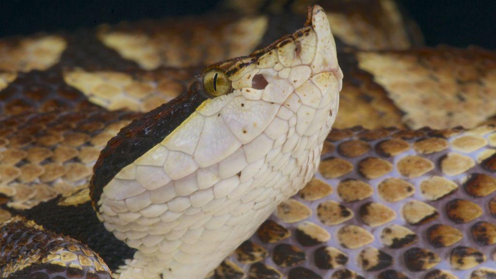 hegyesorrú mokaszinkígyó