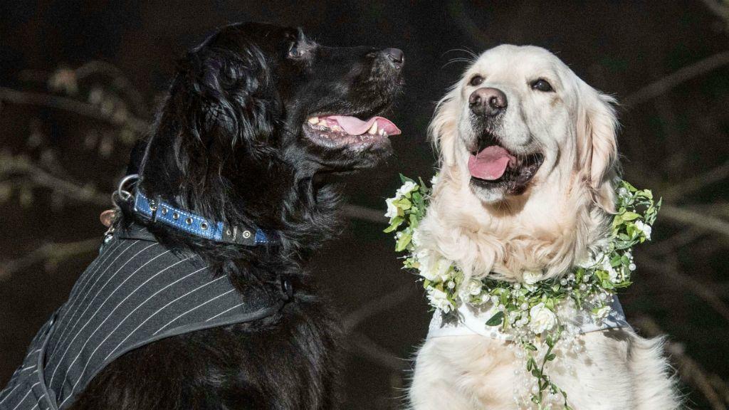 kutyaesküvő