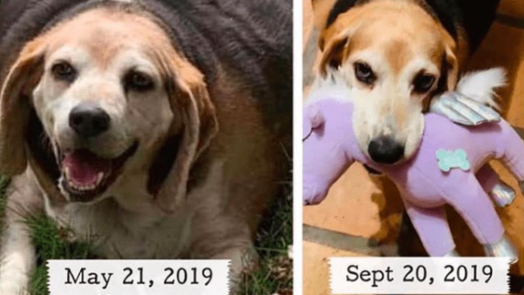 beagle túlsúly fogyás