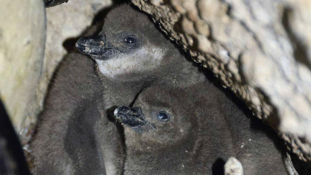 pingvin fióka állatkert