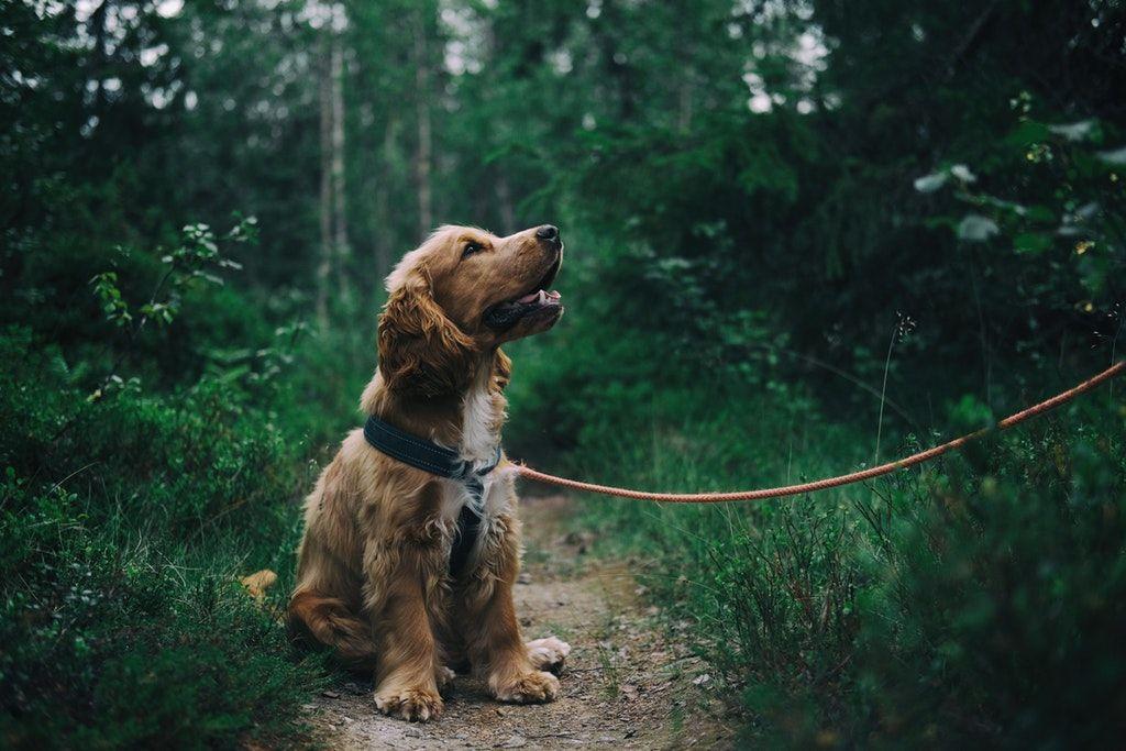 kutya, spániel