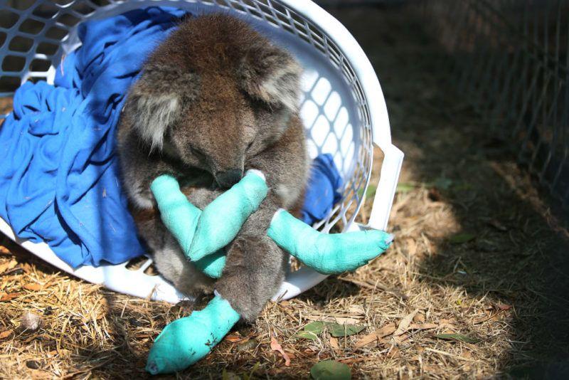 erdőtűz sérült koala
