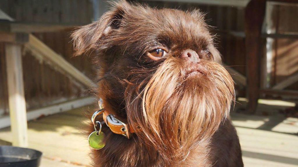 szakállas kutya