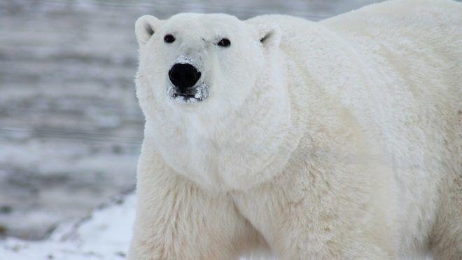 Kannibálok lettek a jegesmedvék - Fotó: Pixabay