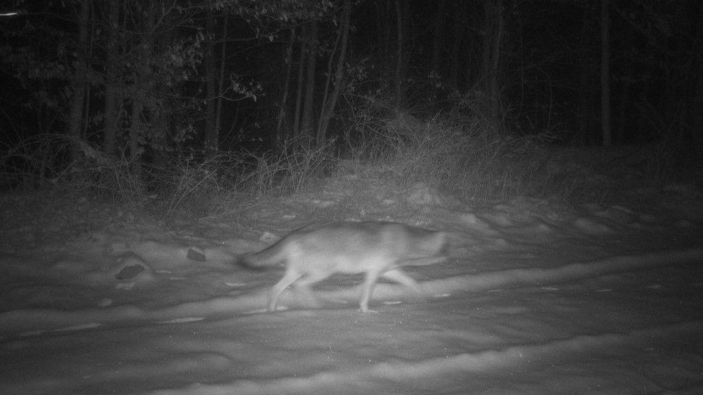 A kameracsapda előtt sétált át a farkas (Forrás: Duna-Ipoly Nemzeti Park)