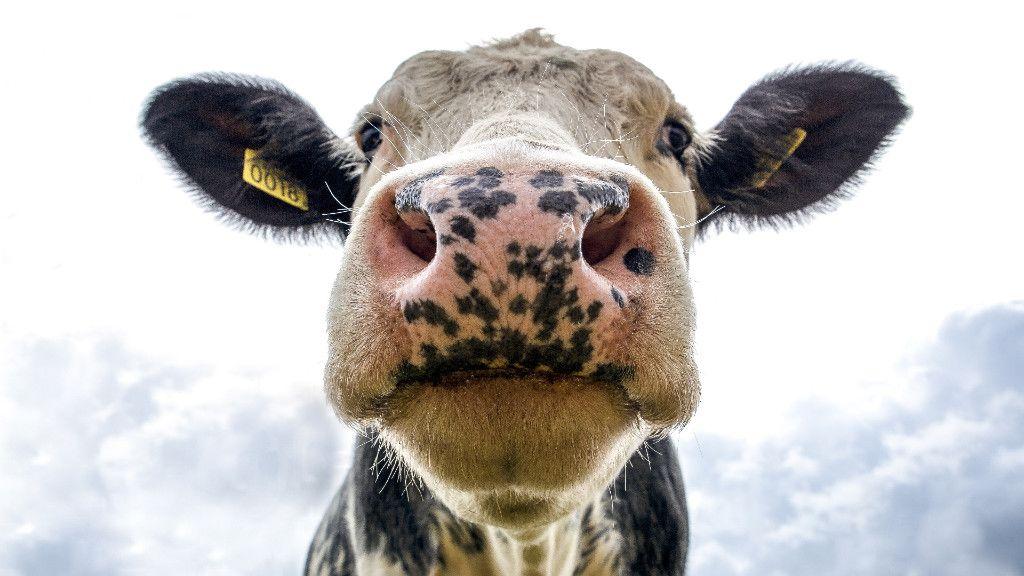 Ha egy tehén nekiindul, beleremeg a föld. (Fotó: Pexels)