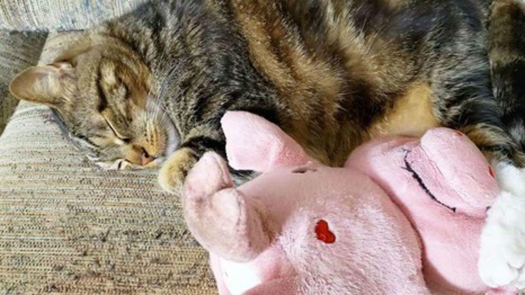 A cica mindenhova magávalviszi malac plüssét Fotó: Crystal Cook Facebook