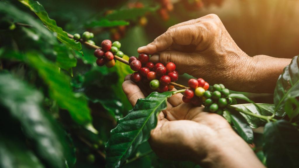 A kávébab, amit megdarálunk, ennek a gyümölcsnek a magja (Fotó: Getty Images)