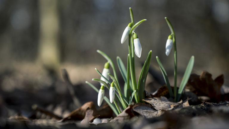 Hóvirág a Mecsekben - Fotó: MTI/Sóki Tamás