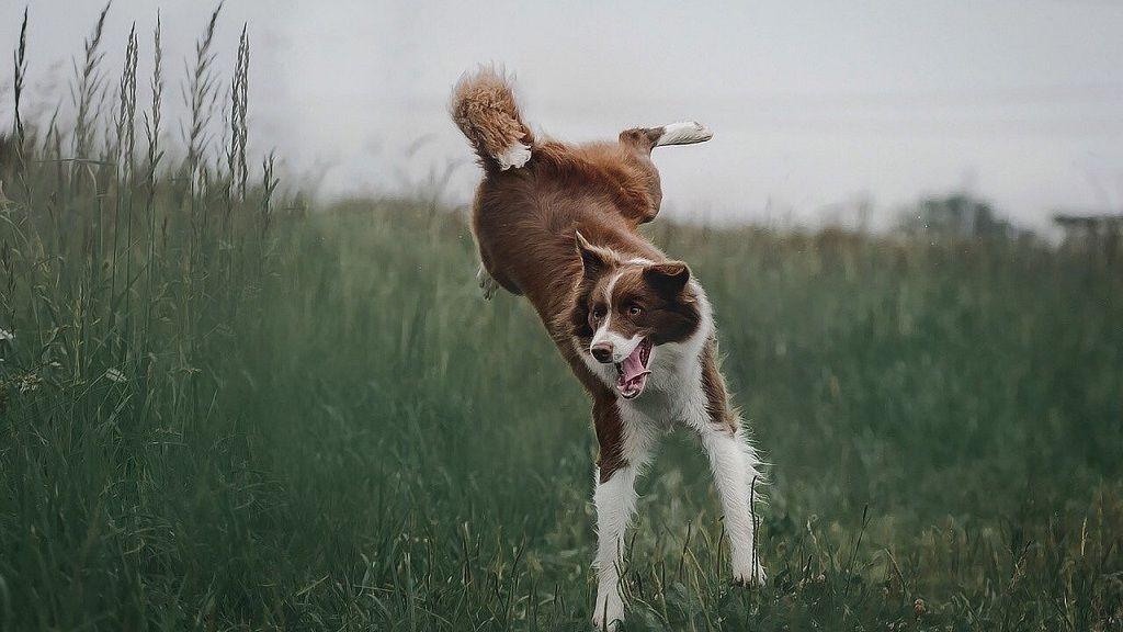 Ilyen kutya is létezik: a bázisugró border collie