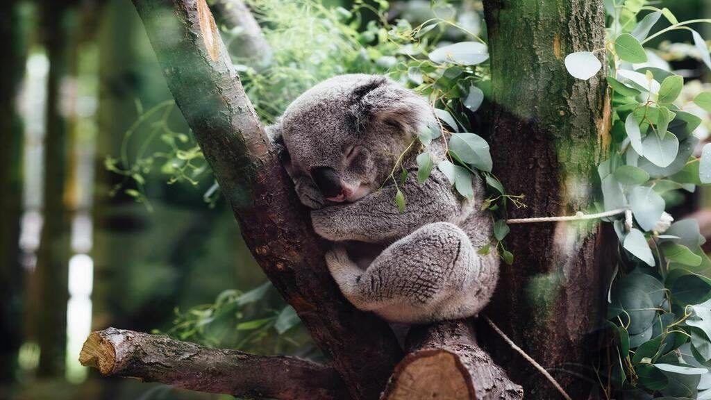 Retrovírus pusztít a koalák körében. Jordan Whitt on Unsplash
