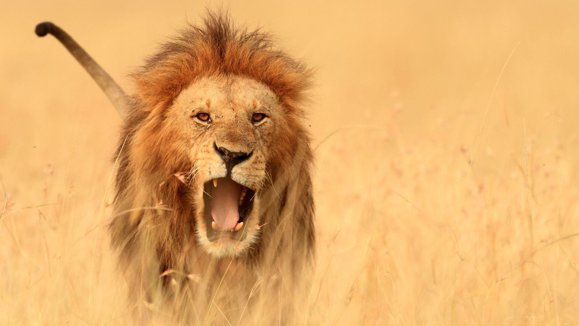 Álhír, hogy Oroszországban oroszlánokkal tartják otthon az embereket