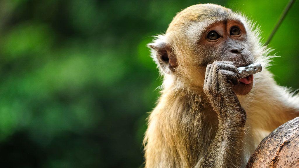 A thaiföldi városokban élő majmok megszokták, hogy a turisták etetik őket (Fotó: Getty Images)