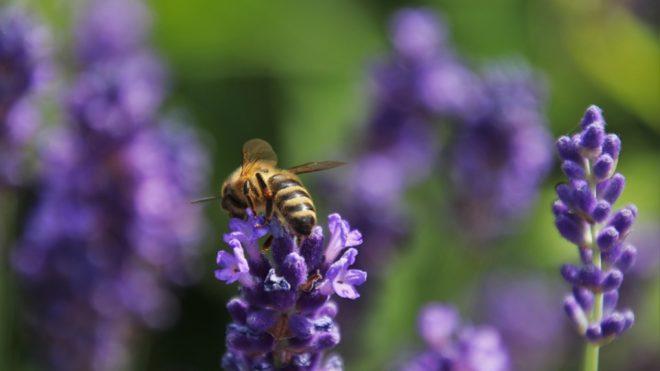 Levendulát poroz a méh (Fotó: Pixabay)