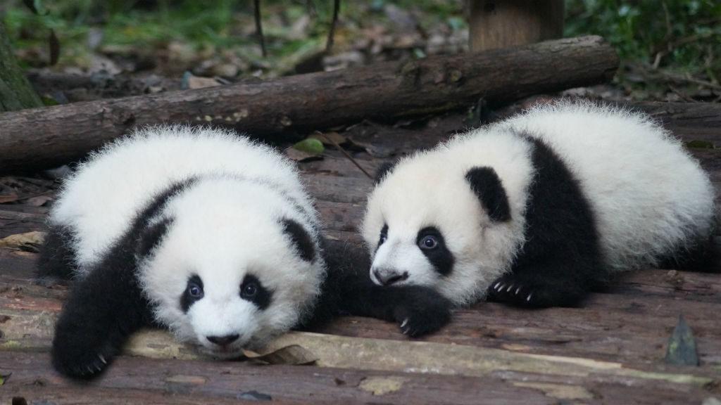 Kisebb csodának is tekinthető a pandabocsok születése, ugyanis a ritka, hogy a pandák tavasszal kölykedznének. Illusztráció: Pascal Müller on Unsplash