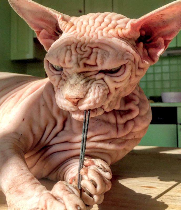 Xherdan szfinx macska