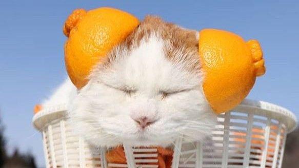 shiro japán macska alvás