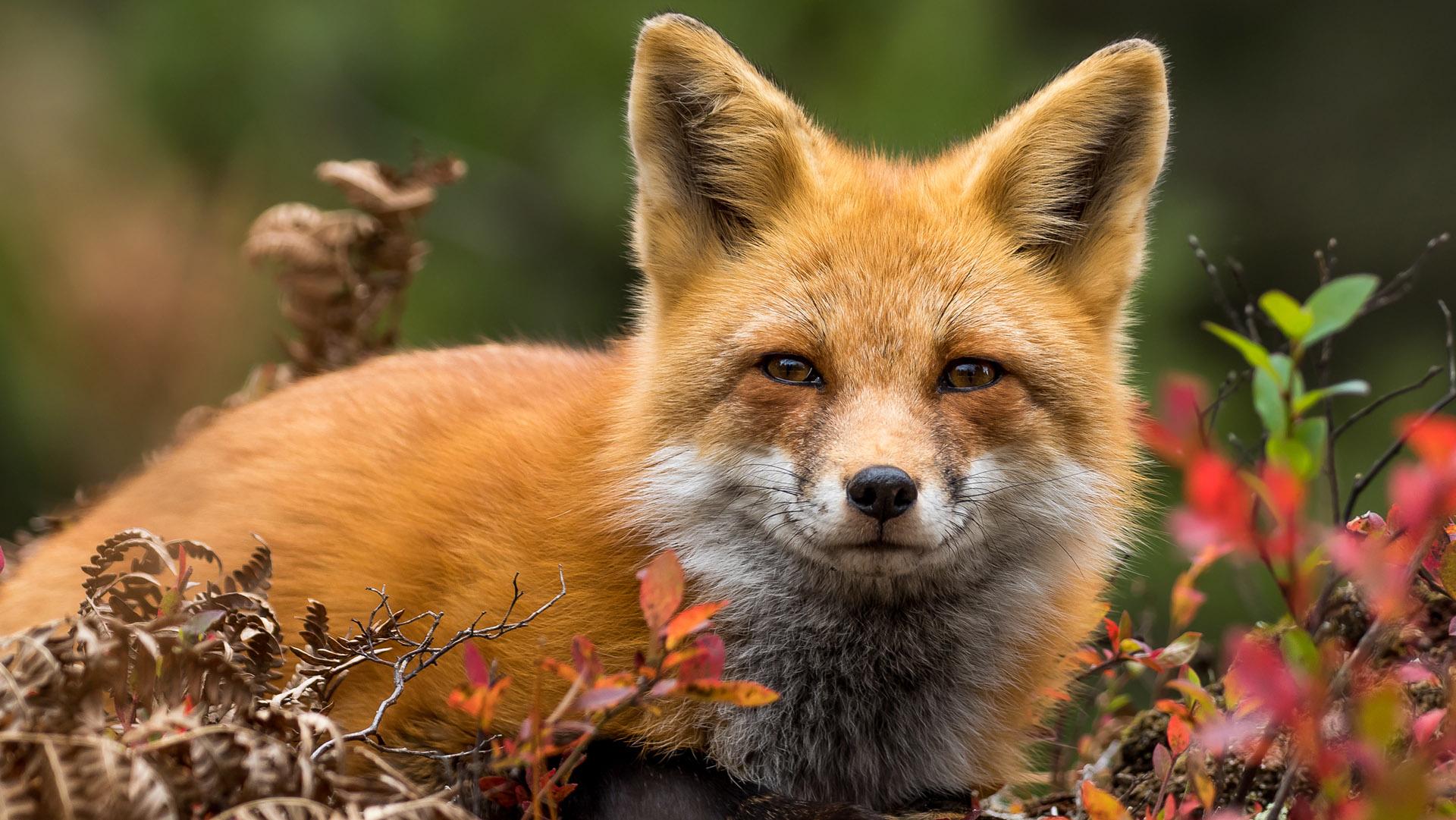 Elolvadsz, ha meghallod, hogyan nevet ez a cuki róka