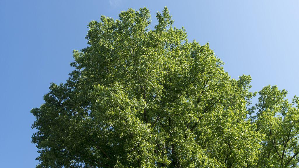 A hársfa virága gyógytea alapanyag.