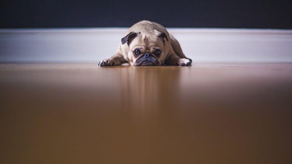 Inkább halottnak tetteti magát a karantént gyűlölő kutya.