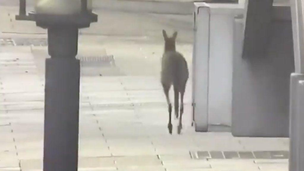 Kenguru ugrándozik Adelaide üres utcáin