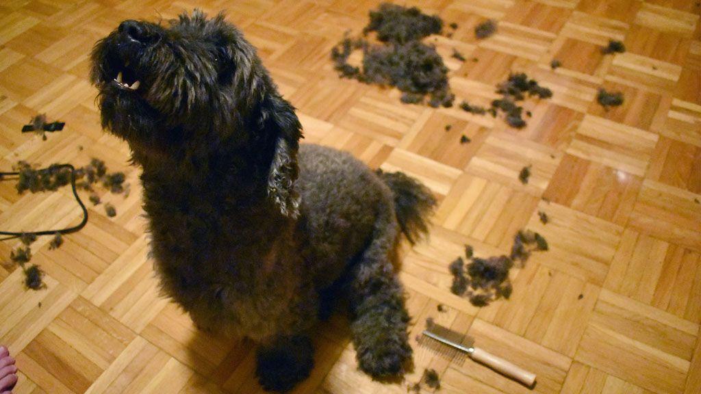 Megnyírtuk a kutyát, nem volt jó