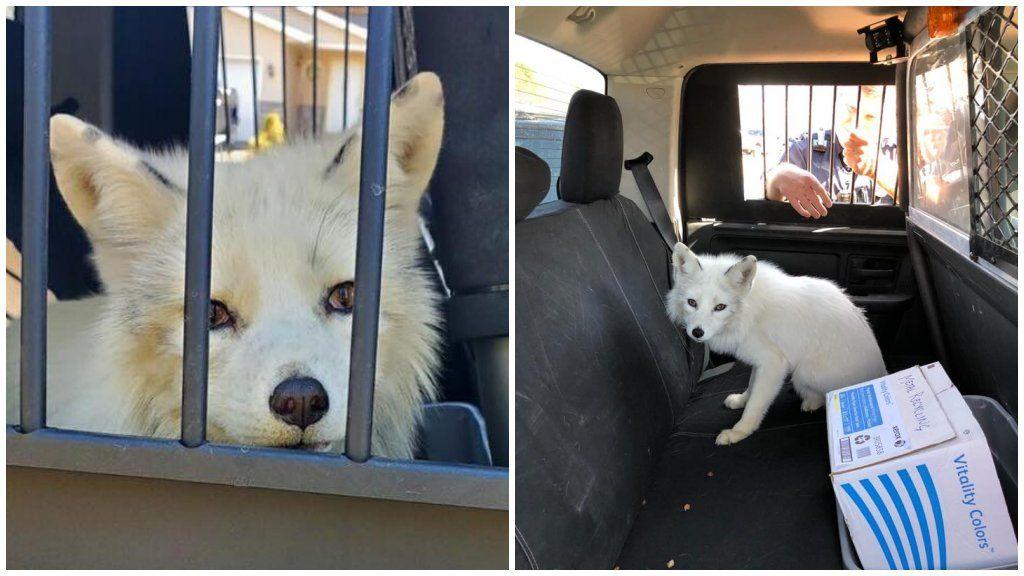 fehér róka a rendőrségi autóban