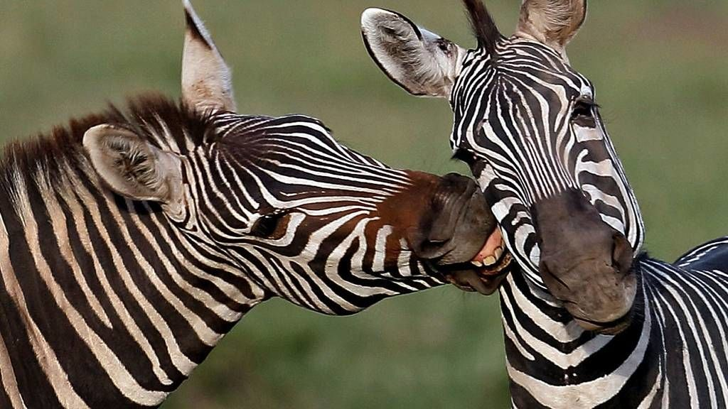 Puszilkodó zsiráfok